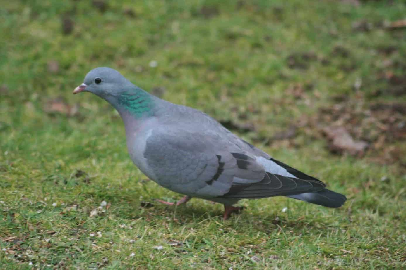 stock dove guide