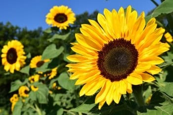 a sunflower which is the source of bird sunflower seeds