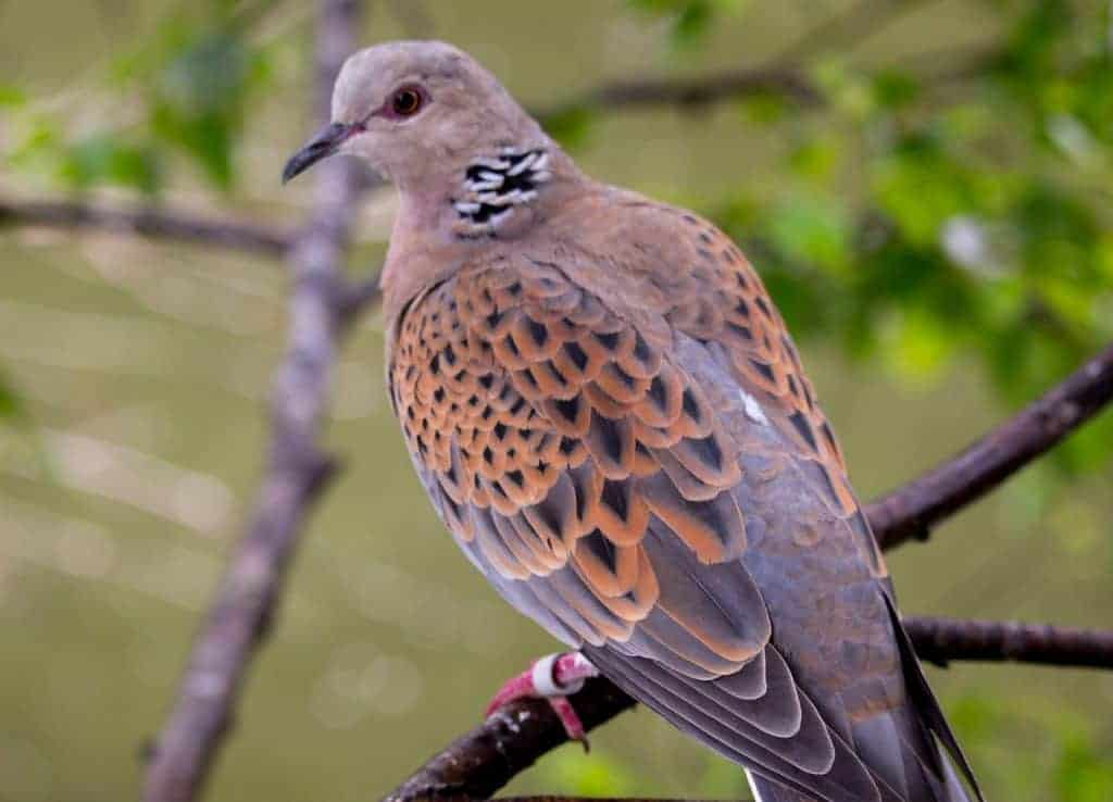 Guide To The Turtle Dove Kennedy Wild Bird Food