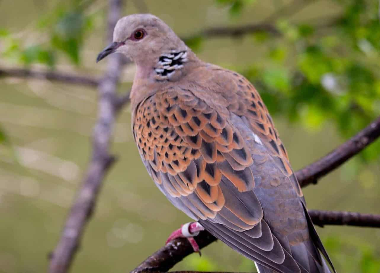 turtle dove uk