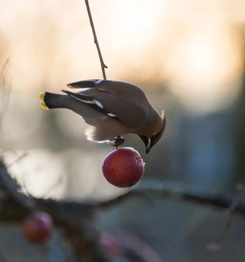 waxwing bird facts