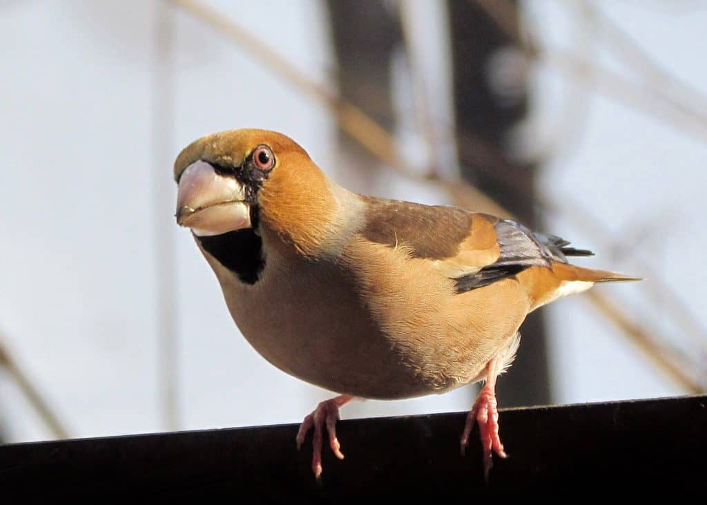 what does a hawfinch look like