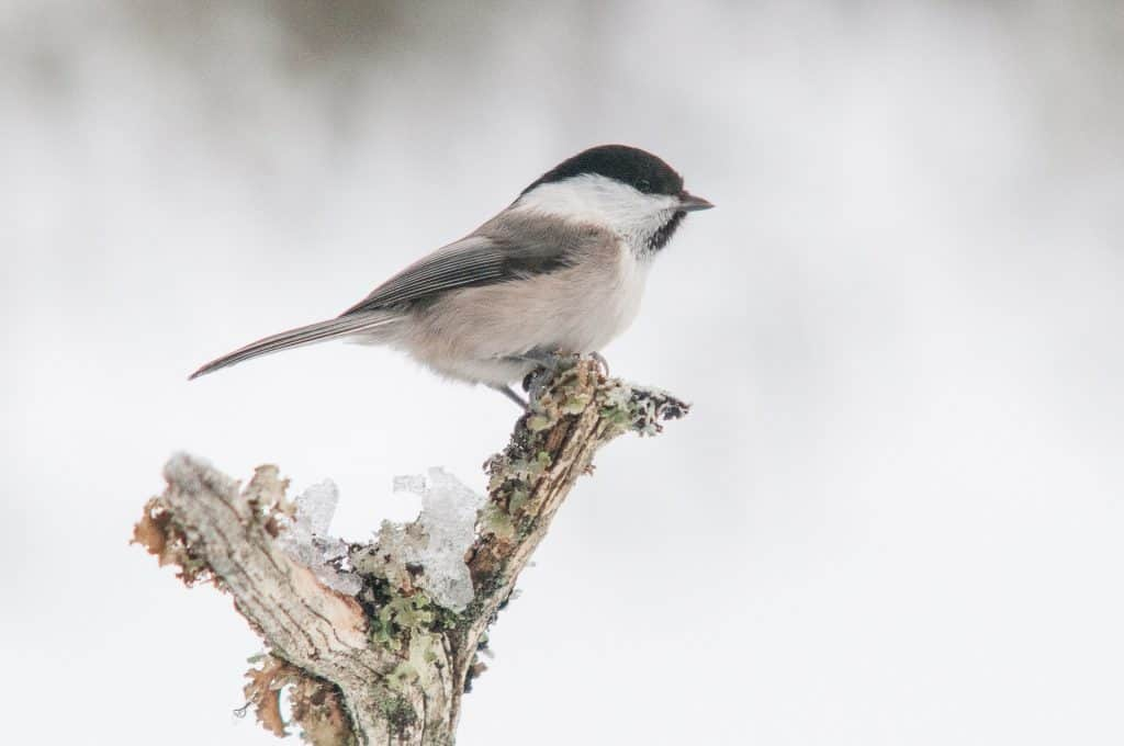 willow tit uk look like