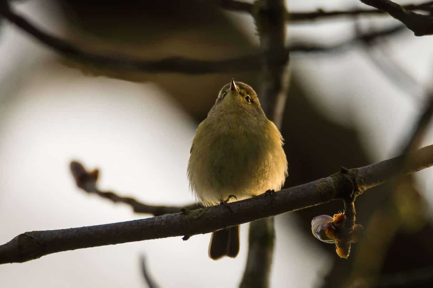 willow warbler uk