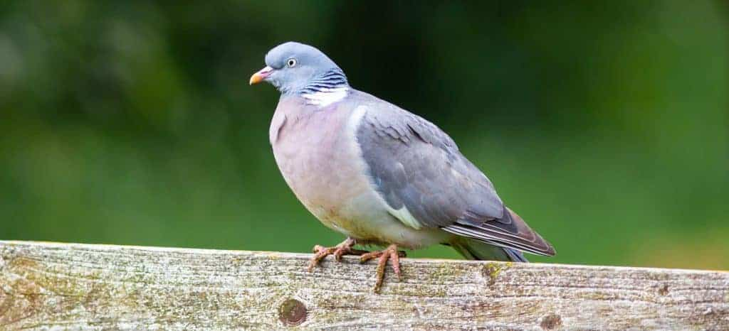 wood pigeon in garden