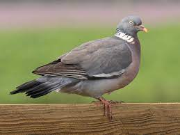 This image has an empty alt attribute; its file name is wood-pigeon.jpg