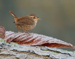 This image has an empty alt attribute; its file name is wren.jpg