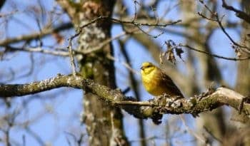 yellow hammer bird images
